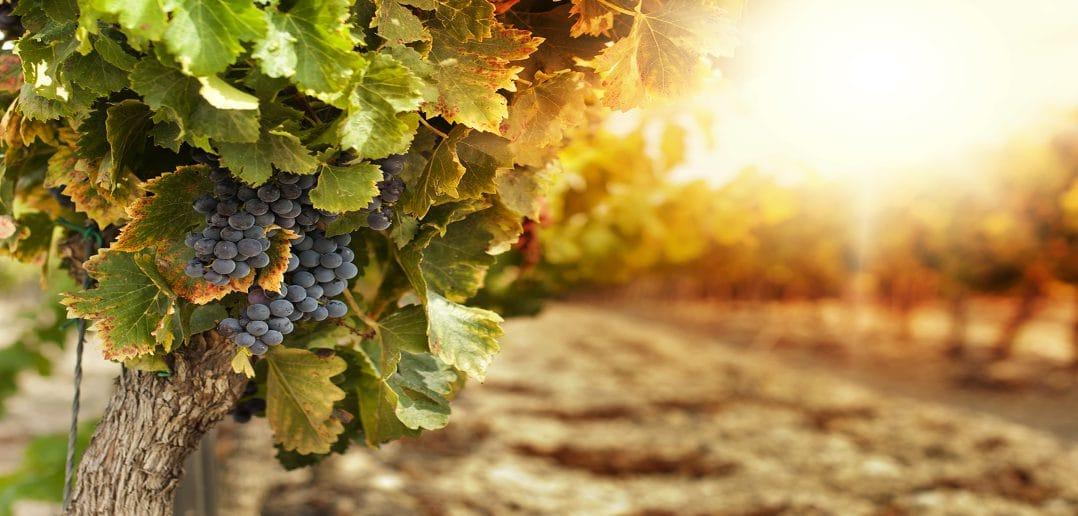 В Молдове начал работу автоматизированный виноградарско-винодельческий реестр